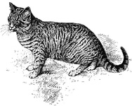 Dark Blue, Small-banded Tabby