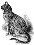 Example of a finely-marked Spotted Tabby He-Cat
