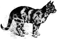 Example of Tortoiseshell Cat, very dark variety