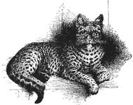 Spotted Tabby Half-bred Indian Wild Cat