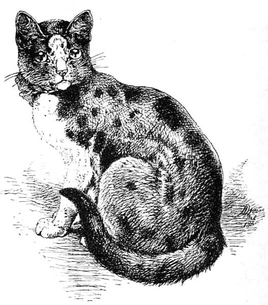 Tortoiseshell-and-white Cat, finely marked.jpg