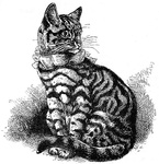 Well-marked Silver Black-banded Tabby