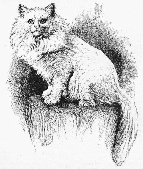White Persian 'Tim'.jpg