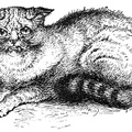 Wild Cat shown at the Crystal Palace Cat Show, 1871