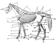 Skeleton of Horse