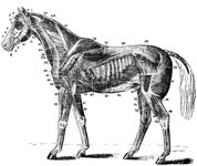 Muscles of the Horse