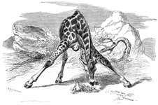 Giraffe, taking something from the bottom