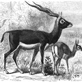 Sasi or Indian Antelope