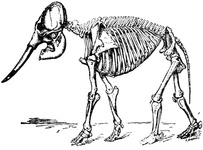 Skeleton of Indian Elephant