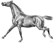 Horse cantering
