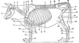Skeleton of the Ox