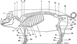 Skeleton of the Pig