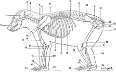 Skeleton of the Bear