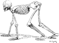 A Human Skeleton in the Attitude of a Quadruped