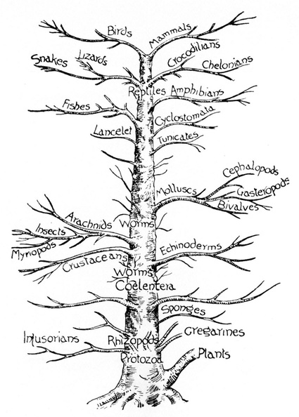 Genealogical tree of animals.jpg
