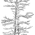 Genealogical tree of animals