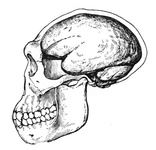 The Skull and Brain-Case of Pithecanthropus