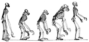 Skeletons of the Gibbon, Orang, Chimpanzee, Gorilla, Man