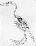 Skeleton of an Extinct Flightless Toothed Bird, Hesperornis