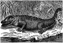 The Savage Florida Alligator