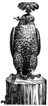 A Hooded Peregrine Falcon. Its eyes are covered by the hood until the game is in sight