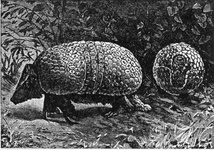 The Three-banded Armadillo. An Animal in a Coat of Mail