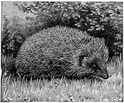 The Common Hedgehog with his Battery of Spines