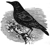 The Starling. One of the Talking Birds