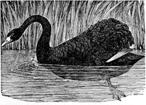 The Black Swan of Australia