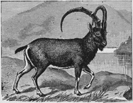 The Alpine Ibex. Note the Curiously Knobbed Horns