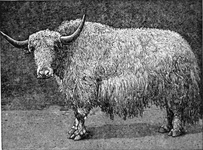 The White Yak of the Asiatic Mountains