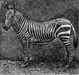 The Striped Zebra of Africa