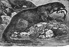 The Otter, One of Nature's Fishers