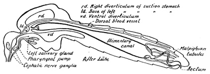 Diagram of a longitudinal section of a mosquito
