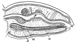 Pediculus showing the blind sac (b) containing the mouth parts (a) beneath the alimentary canal (p)