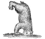 A Bear standing on his Head