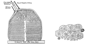 Diagram of a Lobule of the Liver