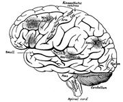 The Surface of the Left Cerebral Hemisphere, Cerebellum,and Medulla Oblongata.