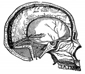 Vertical section of the skull, showing the sinuses of the dura mater