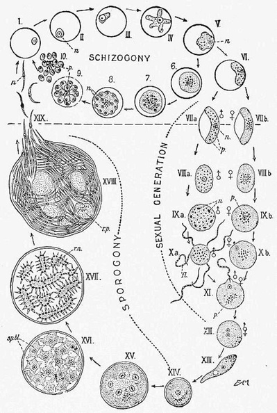 A diagram showing the life-history and migration of the Malaria parasite.jpg