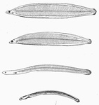 The young of the common Eel and its metamorphosis
