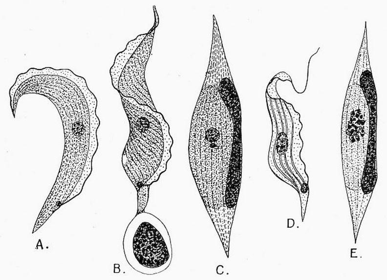 Trypanosoma Ziemanni, from the blood of the little owl.jpg