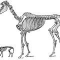 Skeleton of the Modern Horse and of His Eocene Ancestor