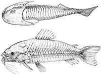 Cephalaspis and Loricaria, an Ancient and a Modern Armored Fish