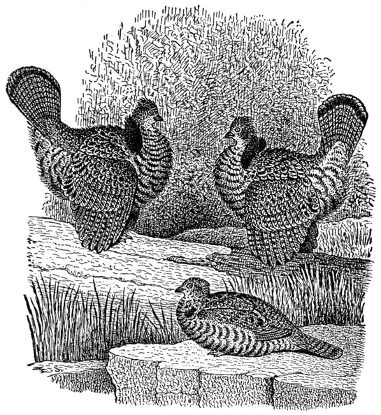 Ruffed Grouse in Spring-time.jpg