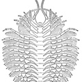 Restoration of under side of a trilobite