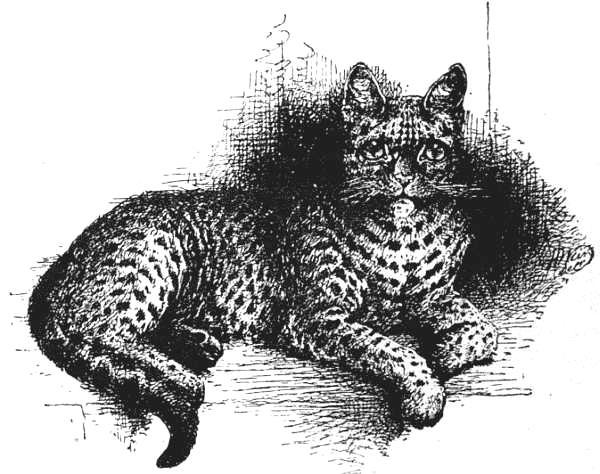 Spotted Tabby Half-bred Indian Wild Cat.jpg