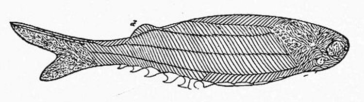 The oldest fossil fish known—discovered in the Upper Silurian strata of Scotland, and named Birkenia by Professor Traquair.jpg